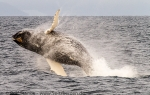 f6r_Humpbacks_08Aug13_50