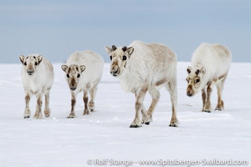 Spitsbergen (Svalbard)
