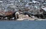 Polar Bear eating a whale (1)