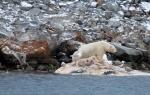 Polar Bear eating a whale (2)