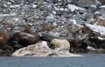 Polar Bear eating a whale (3)