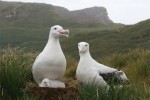 Wandering Albatrosses on Bird Island, South Georgia