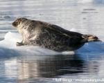 https://www.spitsbergen-svalbard.com/spitsbergen-information/fauna/ringed-seal.html