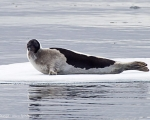https://www.spitsbergen-svalbard.com/spitsbergen-information/fauna/harp-seal.html
