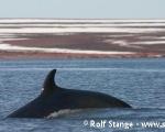https://www.spitsbergen-svalbard.com/spitsbergen-information/fauna/minke-whale.html