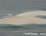 https://www.spitsbergen-svalbard.com/spitsbergen-information/fauna/white-whale-beluga.html