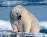 https://www.spitsbergen-svalbard.com/spitsbergen-information/fauna/polar-bear.html