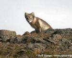 https://www.spitsbergen-svalbard.com/spitsbergen-information/fauna/arctic-fox.html