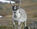 https://www.spitsbergen-svalbard.com/spitsbergen-information/fauna/svalbard-reindeer.html