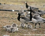 https://www.spitsbergen-svalbard.com/spitsbergen-information/fauna/barnacle-goose.html