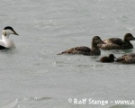 https://www.spitsbergen-svalbard.com/spitsbergen-information/wildlife/common-eider-duck.html