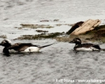 https://www.spitsbergen-svalbard.com/spitsbergen-information/wildlife/long-tailed-duck.html