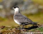 https://www.spitsbergen-svalbard.com/spitsbergen-information/wildlife/arctic-skua.html