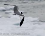 https://www.spitsbergen-svalbard.com/spitsbergen-information/wildlife/sabines-gull.html