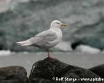 https://www.spitsbergen-svalbard.com/spitsbergen-information/fauna/glaucous-gull.html