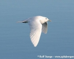 https://www.spitsbergen-svalbard.com/spitsbergen-information/wildlife/ivory-gull.html