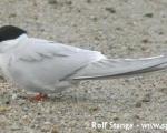 https://www.spitsbergen-svalbard.com/spitsbergen-information/fauna/arctic-tern.html