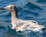 https://www.spitsbergen-svalbard.com/spitsbergen-information/wildlife/common-guillemot.html