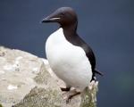 https://www.spitsbergen-svalbard.com/spitsbergen-information/wildlife/bruenichs-guillemot.html