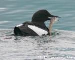 https://www.spitsbergen-svalbard.com/spitsbergen-information/fauna/black-guillemot.html