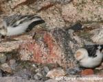 https://www.spitsbergen-svalbard.com/spitsbergen-information/fauna/snow-bunting.html