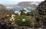 Svalbard poppy  (white) (Papaver dahlianum)