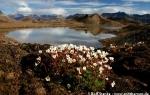 Tufted saxifrage  (Saxifraga cespitosa)