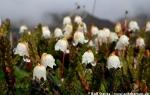 Arctic bell-heather (Cassiope tetragona)