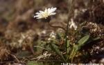 Arctic dandelion  (Taraxacum arcticum)