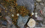 Schneesternmiere (Stellaria crassipes)