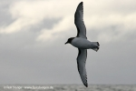 Antarctic-Petrel_Weissfluegelsturmvogel_a4_Ant-Circle_13Mar09_20