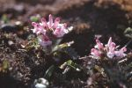 pedicularis_hirsuta01_cmyk