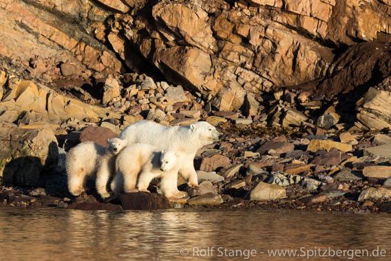 Polar bear family, Kapp Auguste Viktoria