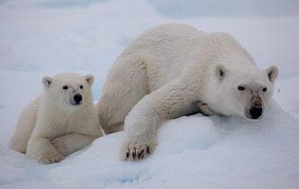 Polarbear with cub