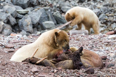 Healthier food on land thand on ice: Polar bear